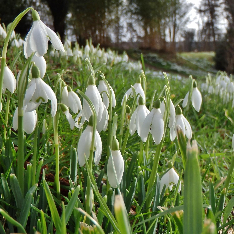 Snowdrops at Stourhead garden