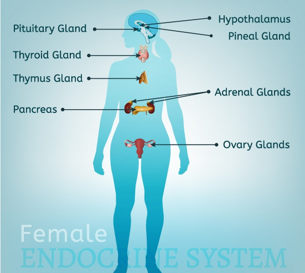 endocrine-system-woman-vector-16036090.jpg