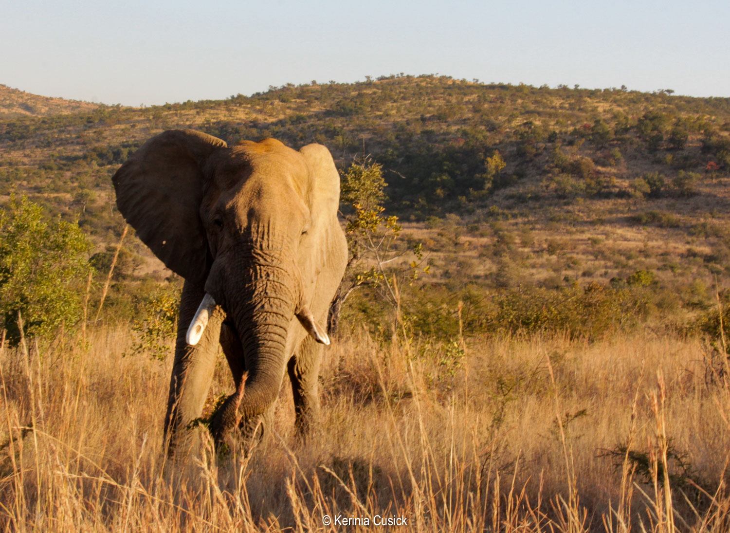 Elephants look best with their ears flared, wait for them to do that if possible