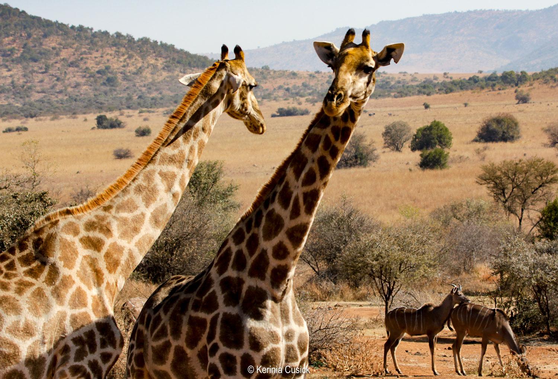 Curious giraffes! See all that dust in the air?