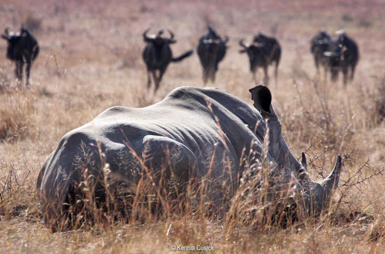 Napping Rhino and Wildebeest in Pilanesberg