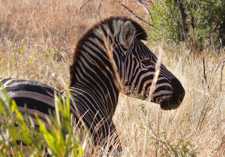 Spectacularly photogenic zebra are everywhere in Pilanesberg