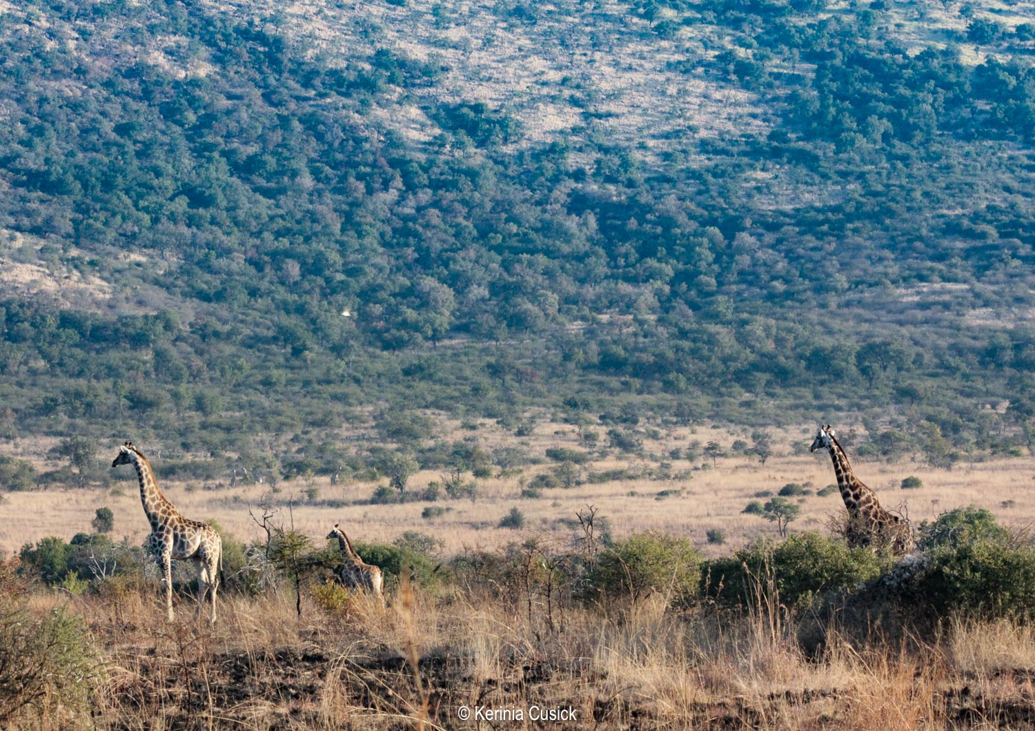 Pilanesberg is in an ancient volcanic crater, the old crater walls make for a good backdrop