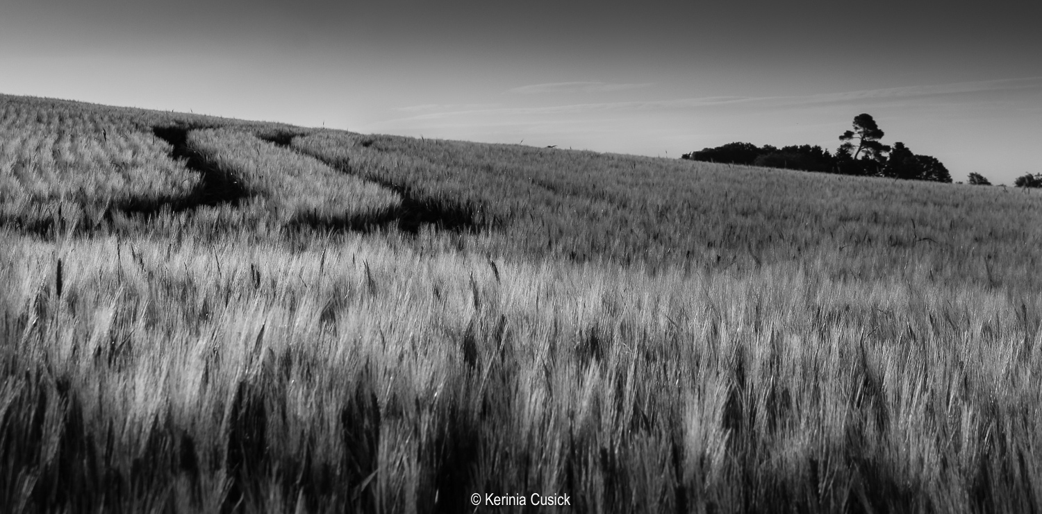 wheat field bw.jpg