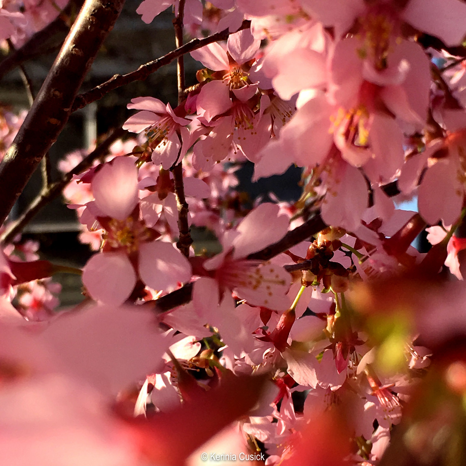 Shooting cherry blossoms in macro mode on an iPhone. Using the blurred foreground to virtually frame the shot and focus the eye.