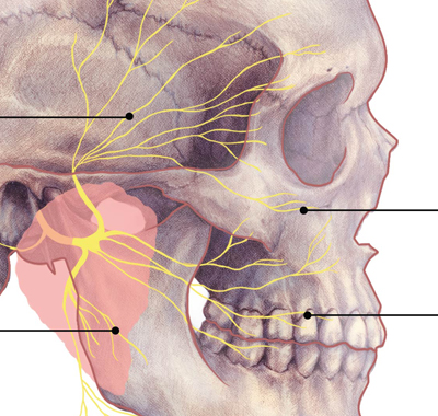 Superficial Branches of the Facial Nerve