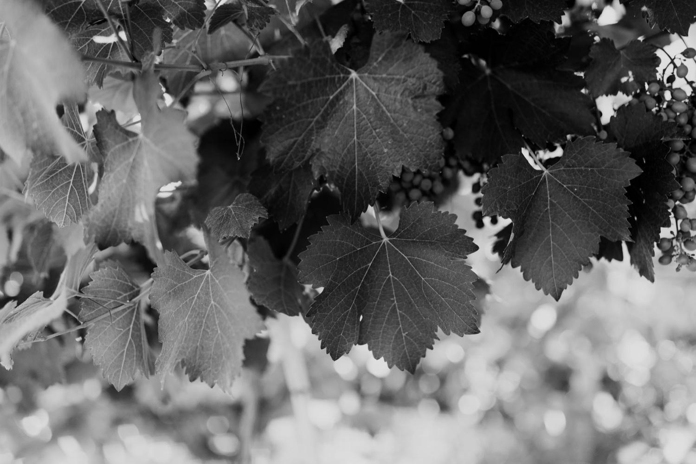 019_leaves_grapes.jpg