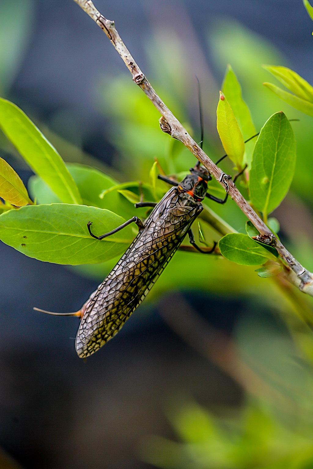 Salmon fly (Plecopthera-stonefly)