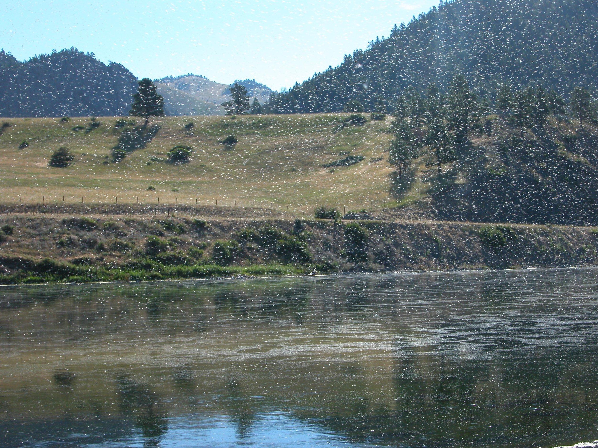 'Summer snow' (Trico hatch), Missouri River, Montana