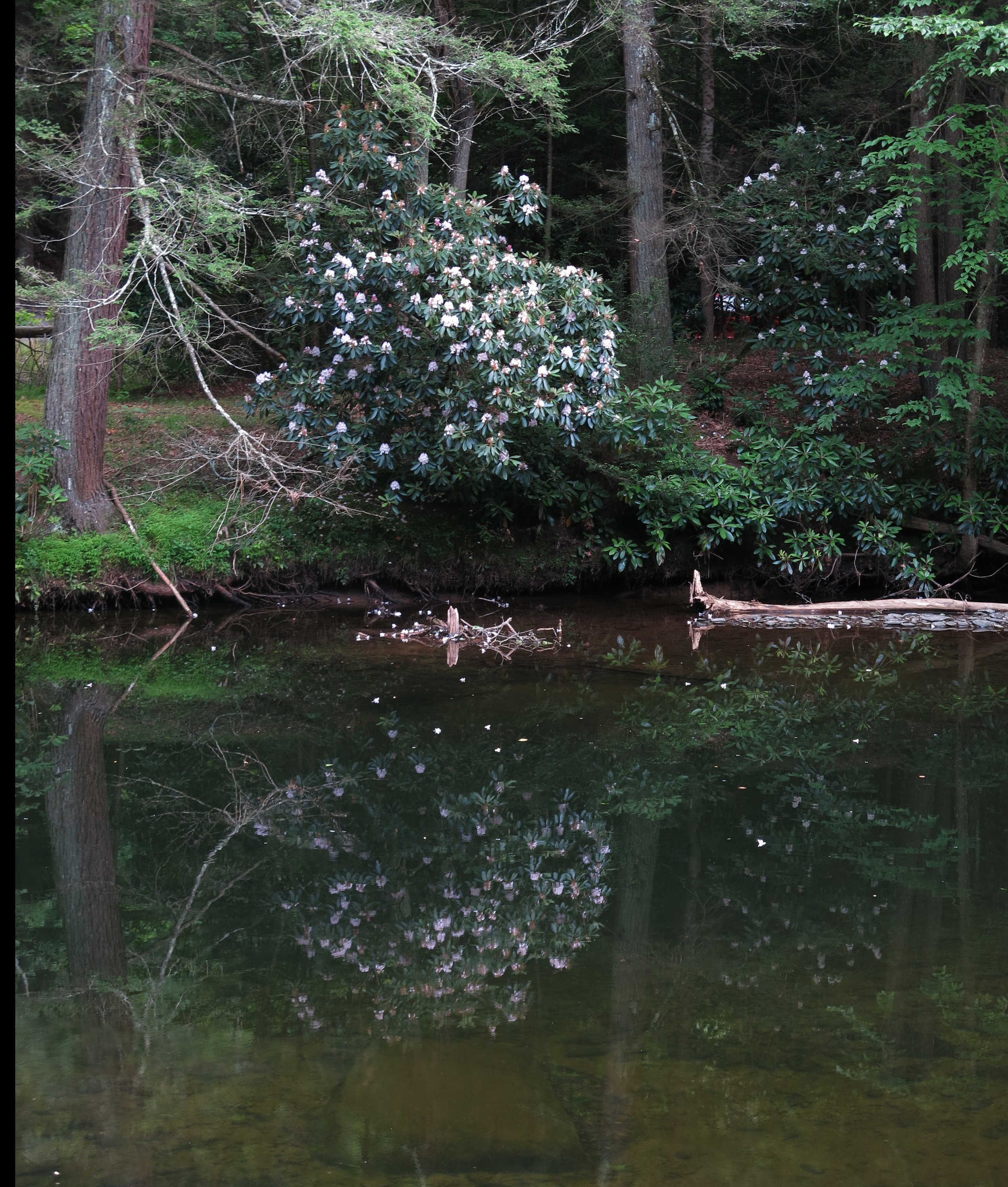 Figure 39 . Rotting log in Willowemoc Creek, New York.