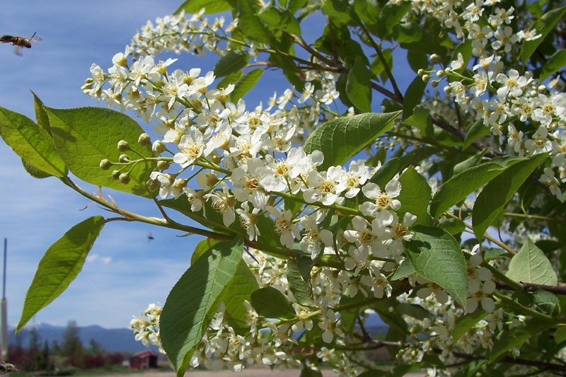Chokecherry Flowers.jpg