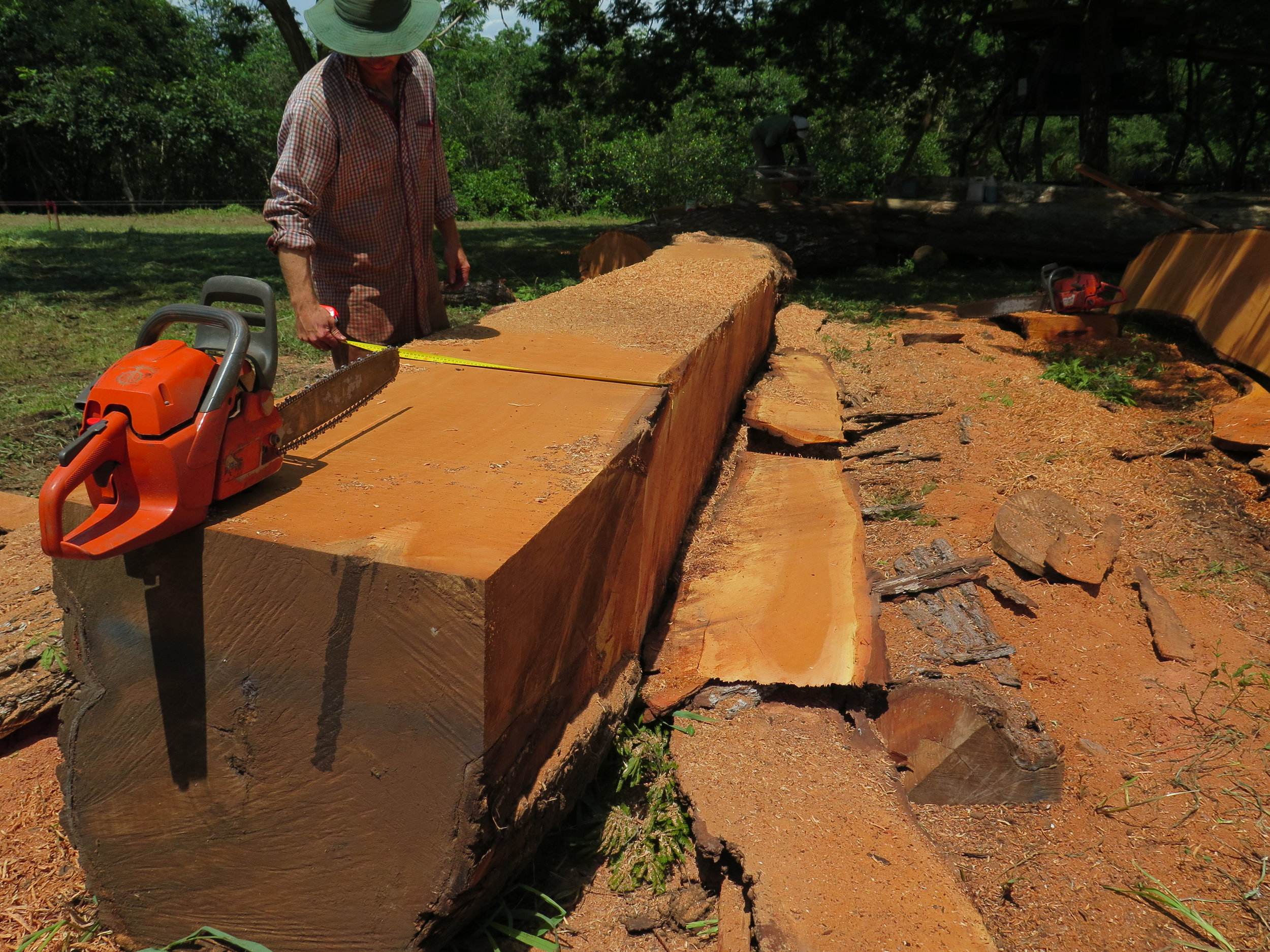 Location: Cocoroca, Punta Morales. Shipyard.  Lynx measures the width of this large Spanish Cedar. These pieces are destines to become the frames & deckbeams of CEIBA.