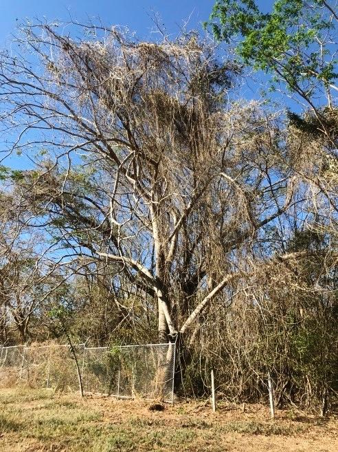 Guanacaste  - (Enterolobium ciclocarpium)Nativo. Árbol nacional de Costa Rica. De hasta 35m de alto. Caducifolio. Flores blancas pequeñas producidas entre Enero y Mayo. Distribución en C.R: desde 0 m hasta los 1300msnm. Relaciones con gran variedad de fauna.