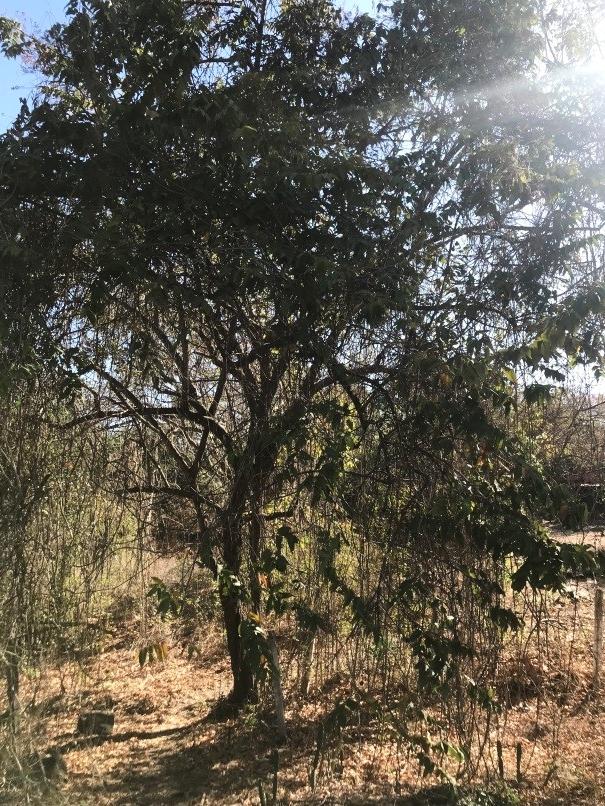 Guácimo - (Guazuma ulmifolia)Nativo. Árbol que llega a medir más de 15m de altura. Corteza áspera. Flores pequeñas en grupos, color crema-amarillo con olor a miel. Algunos florean todo el año aunque principalmente en marzo y abril. Fruto es comido por muchos animales y este emana un olor característico.