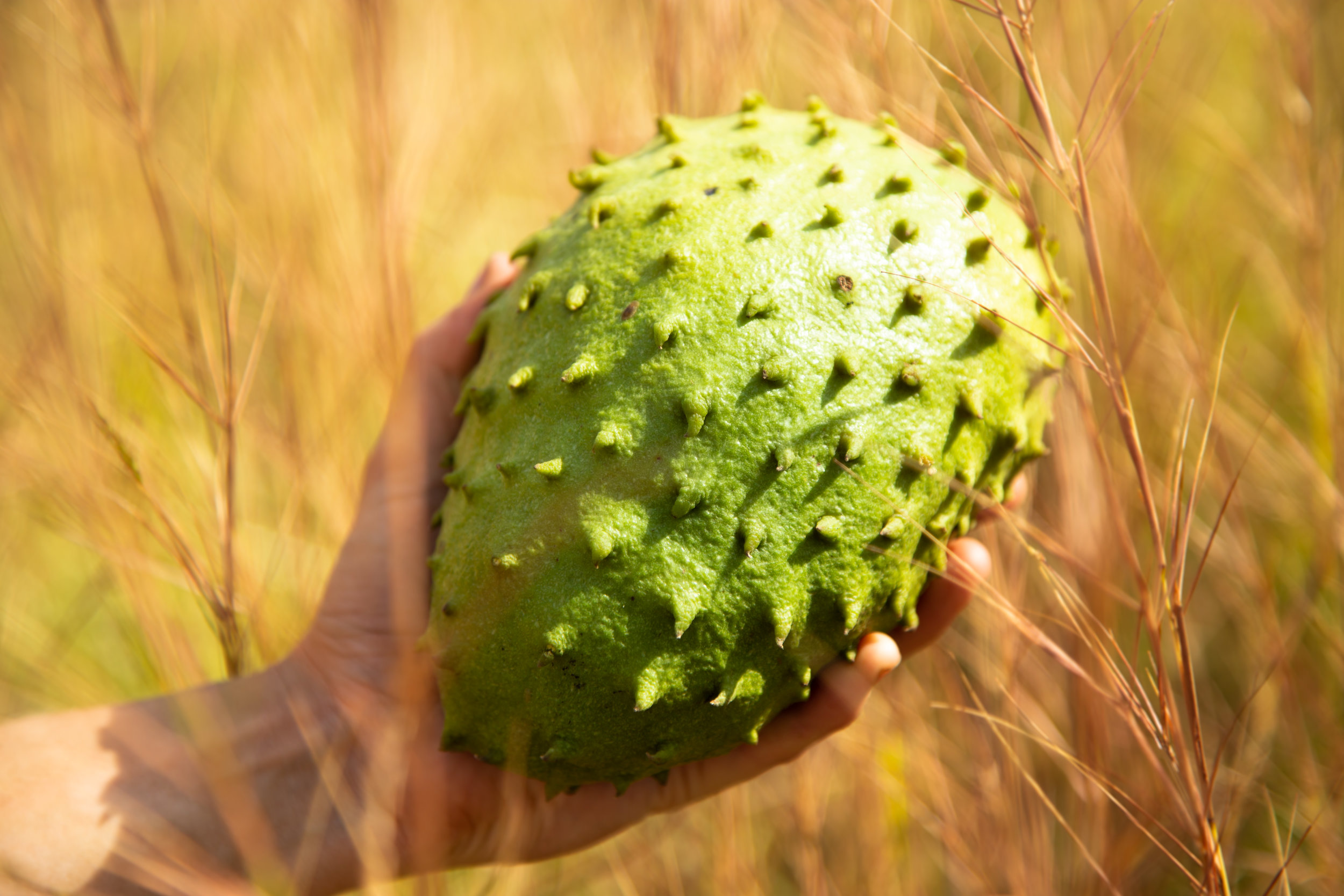 "GUANÁBANA (CR) | A beautiful photo of the delicious miracle fruit, the guanábana (a.k.a. soursop, graviola, guyabano, latin: Annona muricata) professionally taken by Jeremy Starn as a part of the ""yardie"" profile pictures."