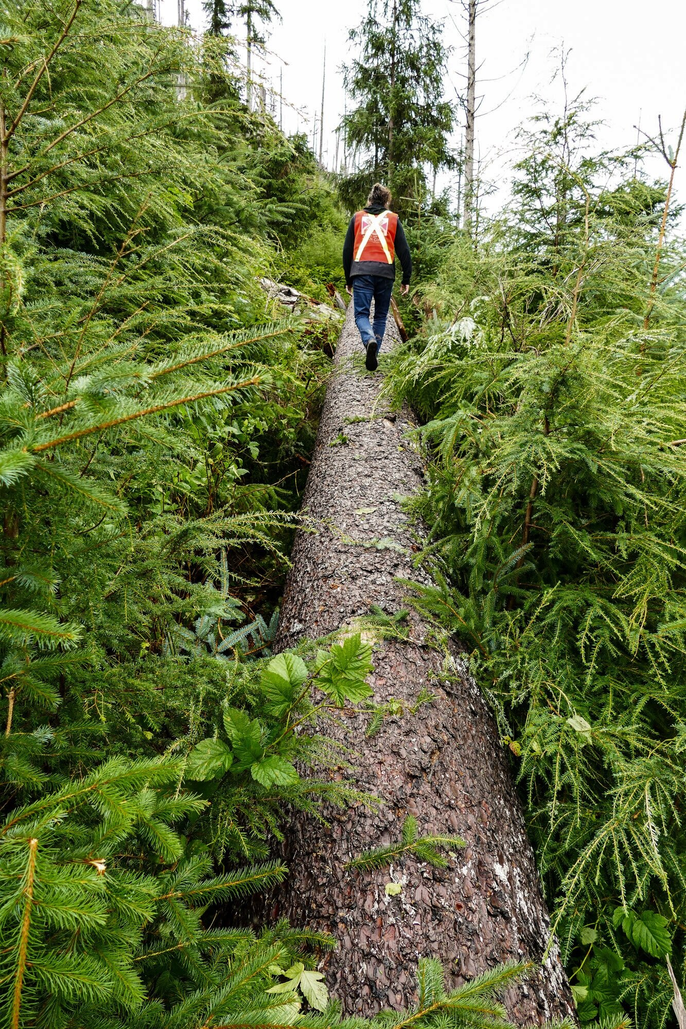 North Pacific Timber Corp.  Danny Robertson walks the length of a fallen Sitka Spruce in the Gamadiis (Port Clements) area.