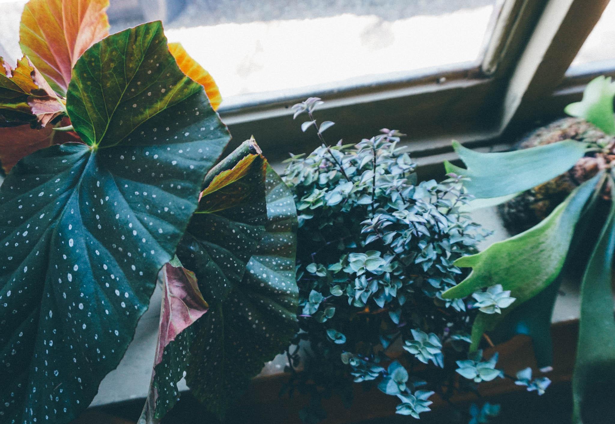 Angel Wing Begonia, Wandering Jew, Staghorn Fern Kokedama