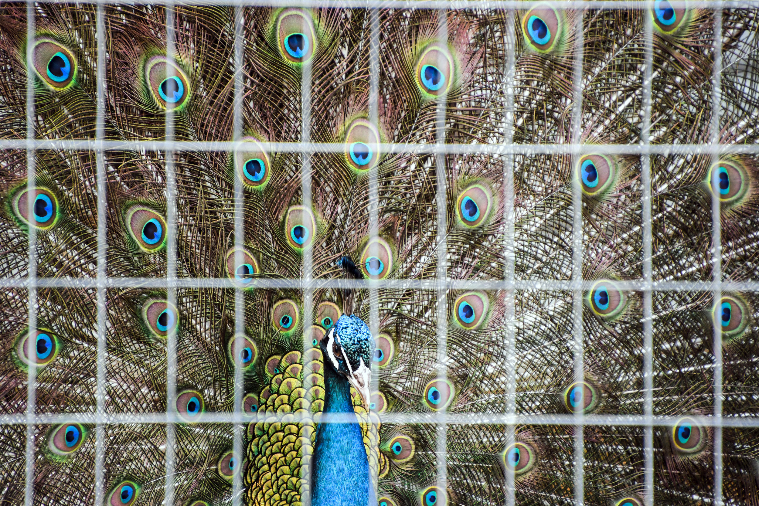 Peacock - Photo by Kareen King