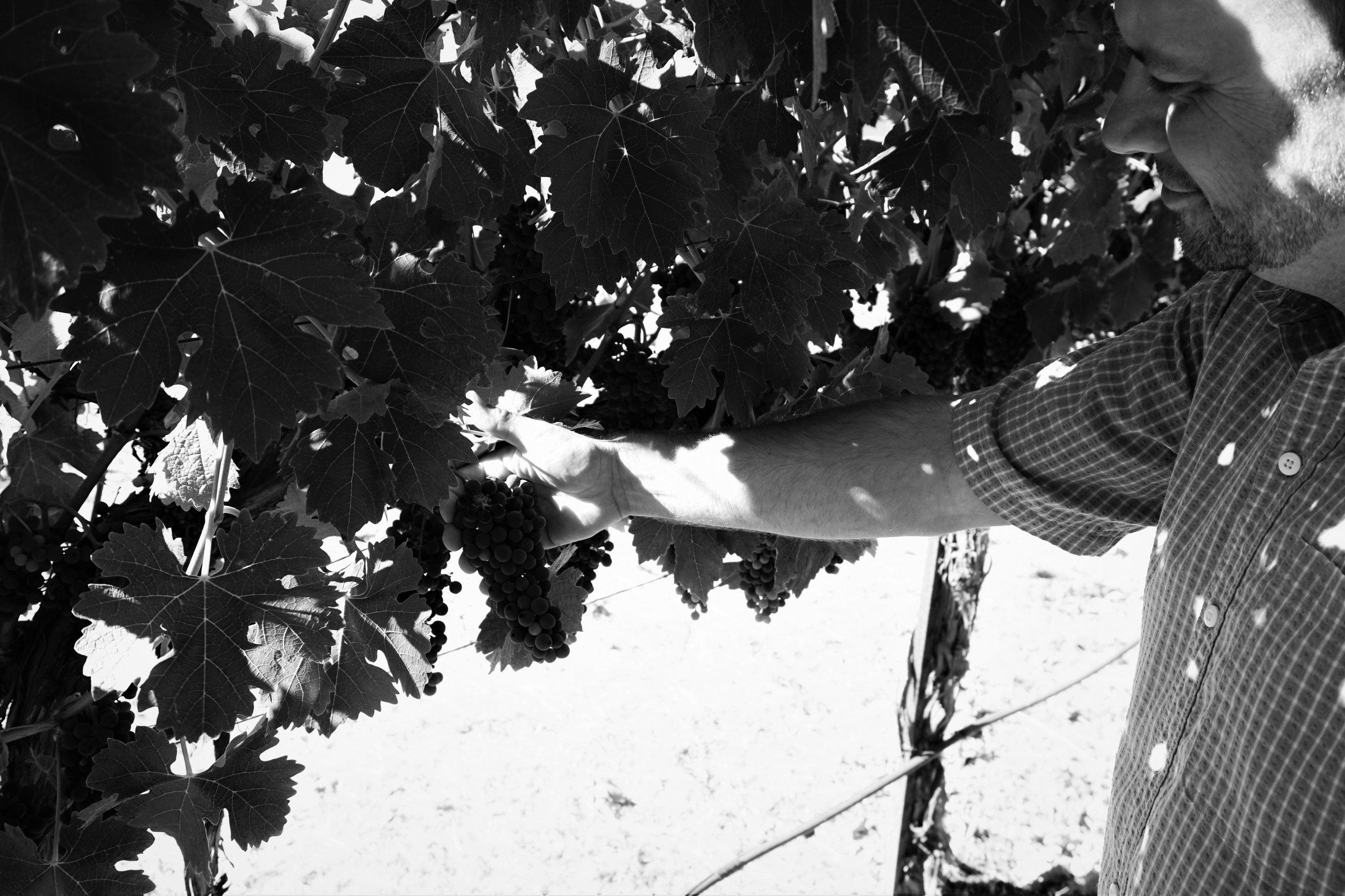 Jim selecting grapes.jpg