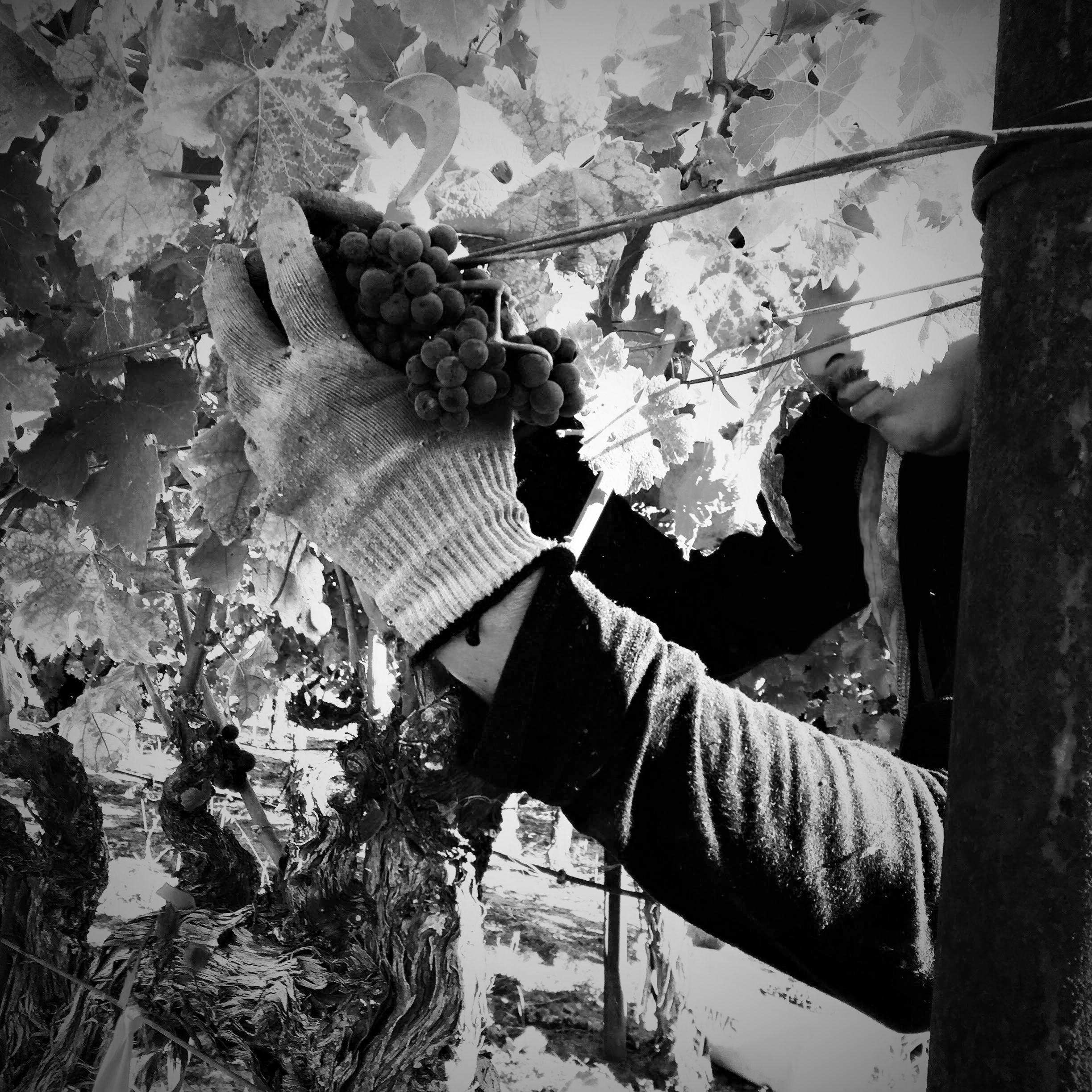 picking cab grapes light sepia.jpg