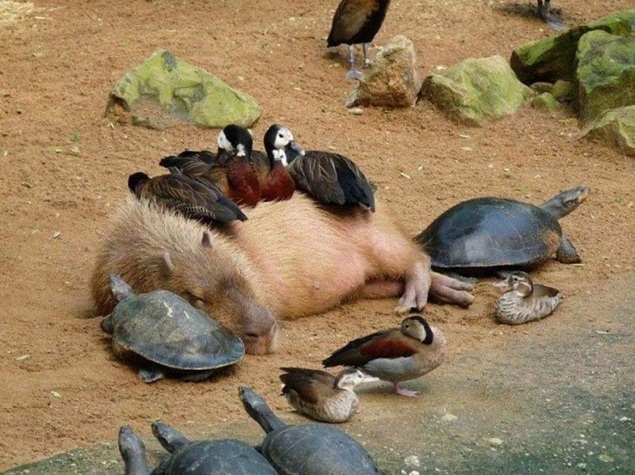 capacity :     Bye look at this capybara giving off so much good energy all the other animals r drawn to them bc they feel safe and loved by this beautiful angel