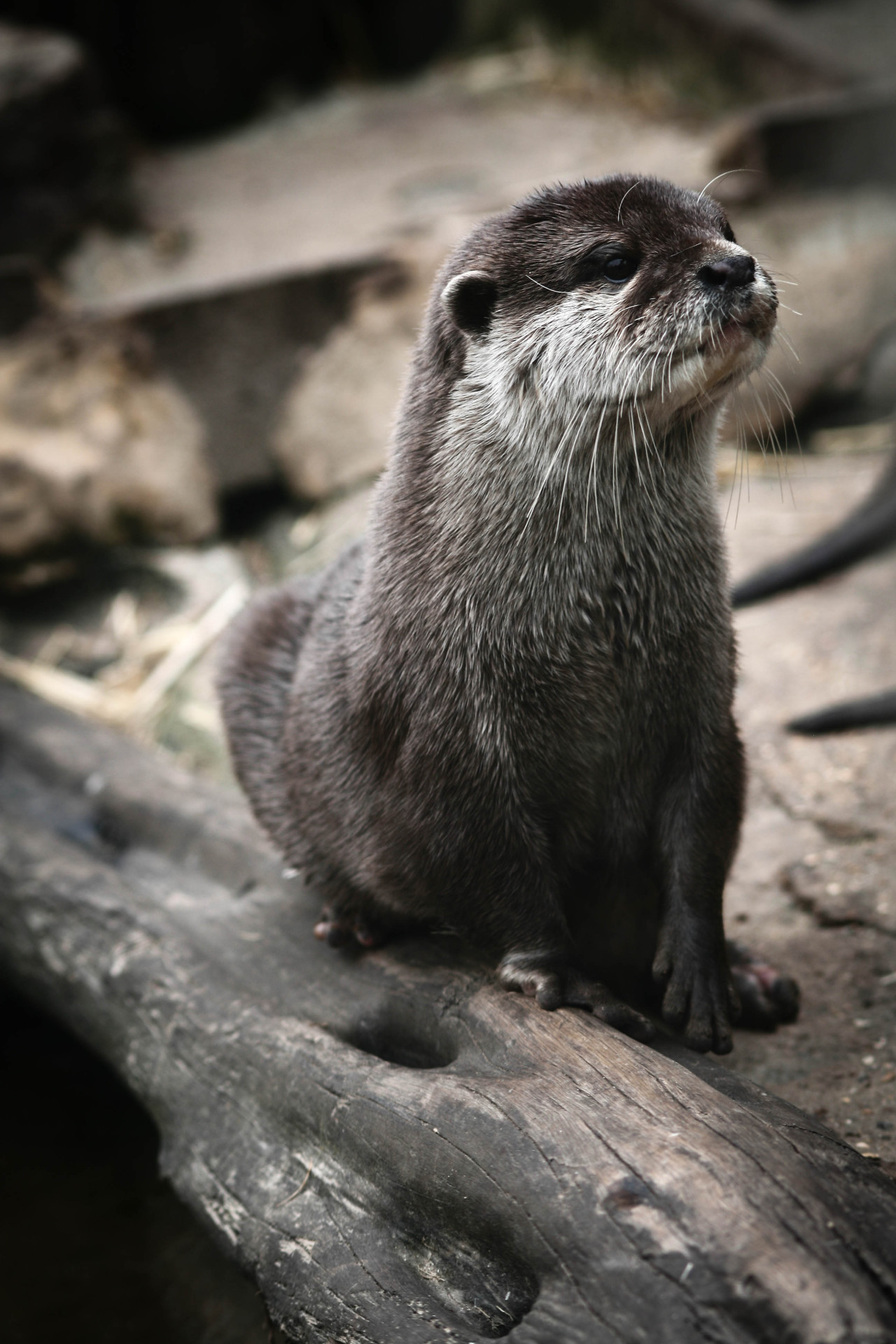 theanimalblog :     Otter by Joey Abrahams