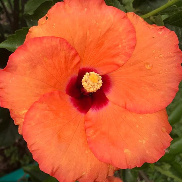 #hibiscus #garden #sydneylandscaper #stonecraftgardens #sydneygardens #flowers