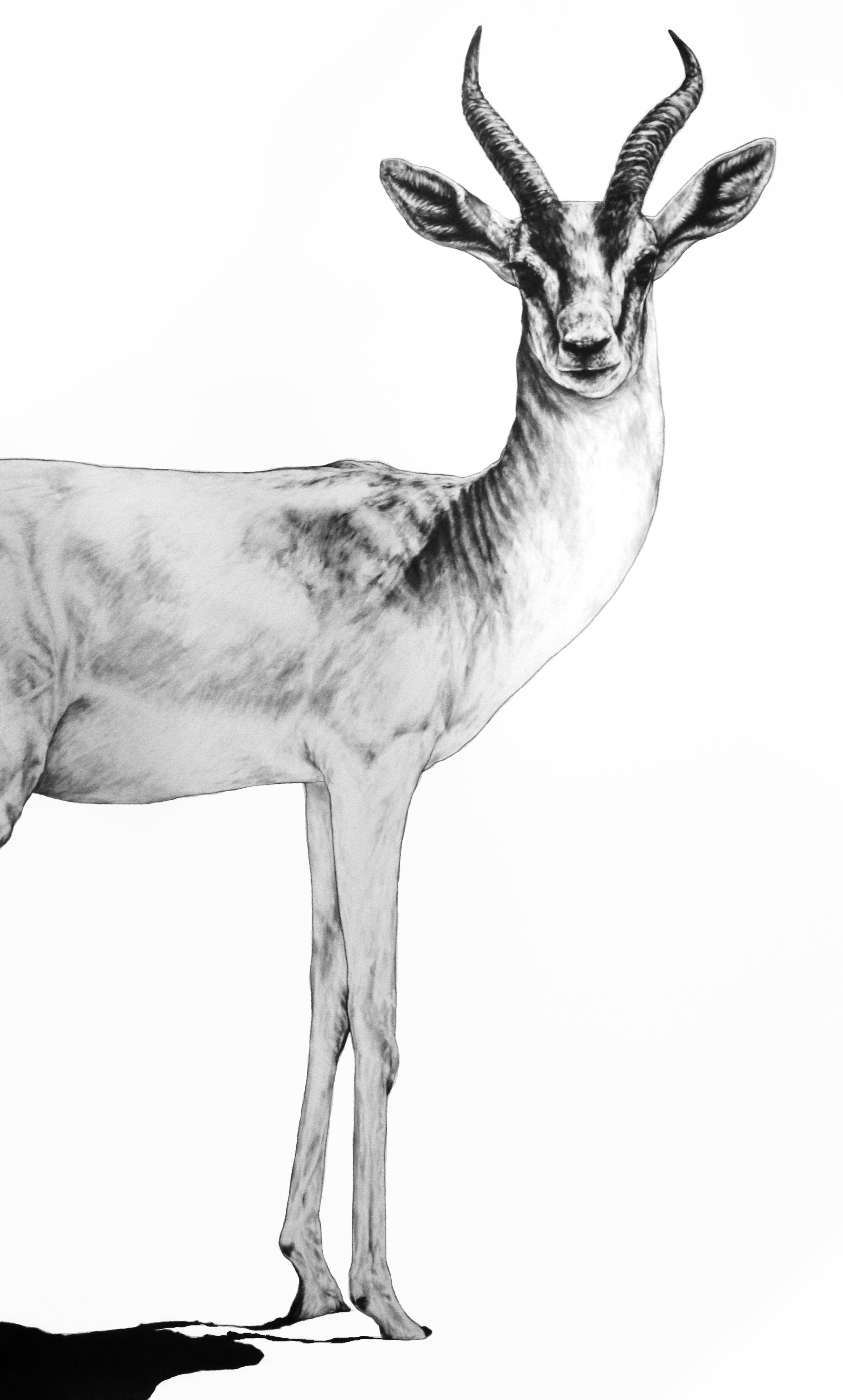 Gazelle   .   2017. Graphite on Fabriano Artistico 300 GSM Paper. 140 x 120 cm.