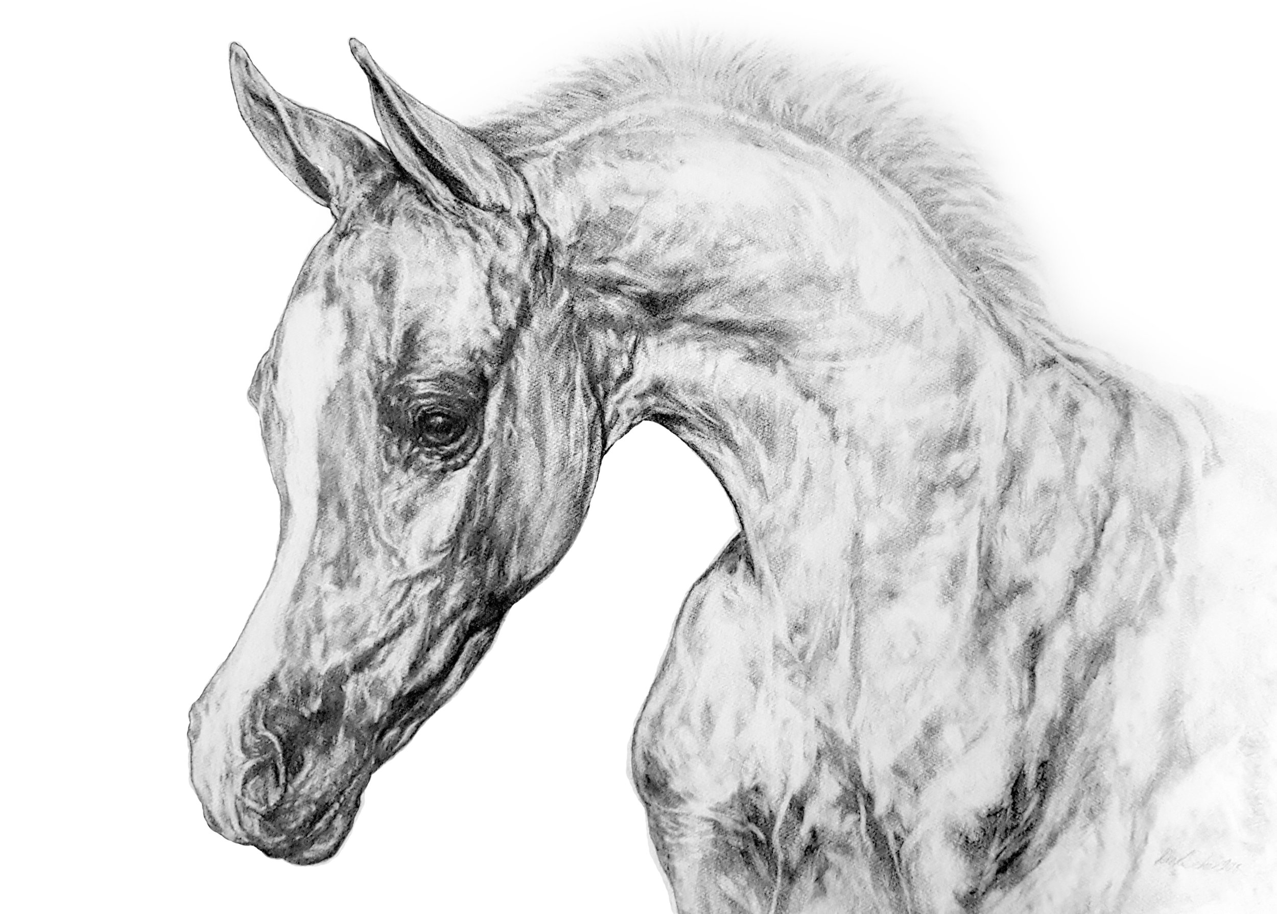 Portrait of an Arabian Foal. 2018. Graphite on 300GSM Fabriano Artistico Paper (56 x 76cm) AVAILABLE
