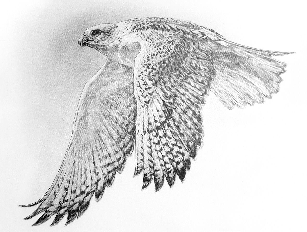 Flying Gyr Falcon. 2018. Graphite on 300 GSM Fabriano Artistico Paper (56 x 76cm) SOLD