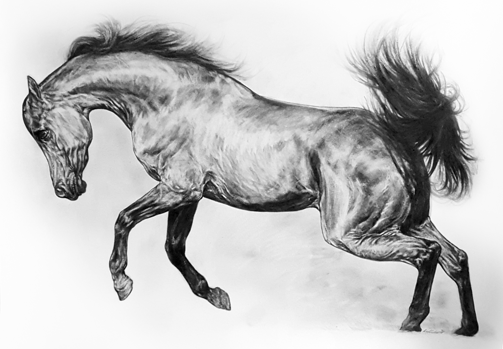 Lunging Stallion. 2018. Graphite on 300 GSM Fabriano Artistico Paper (90 x 120cm) AVAILABLE