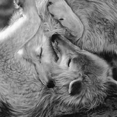 Wolf love paare_grau.png