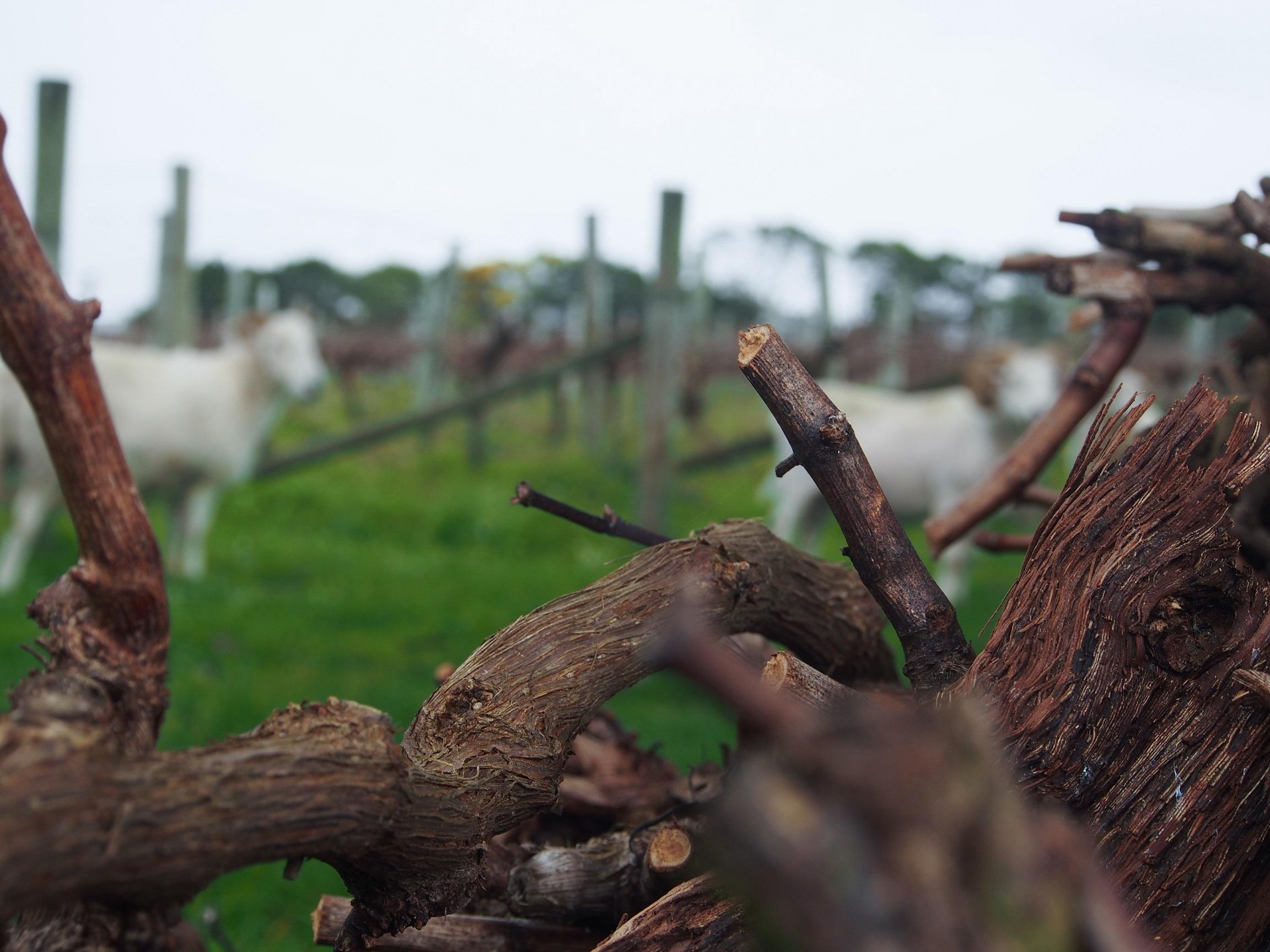 pruning organic vineyard.jpg