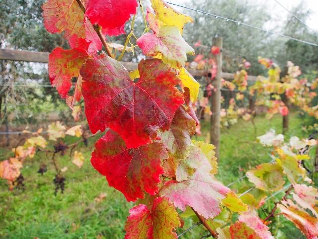 autumn saparavi (640x480).jpg