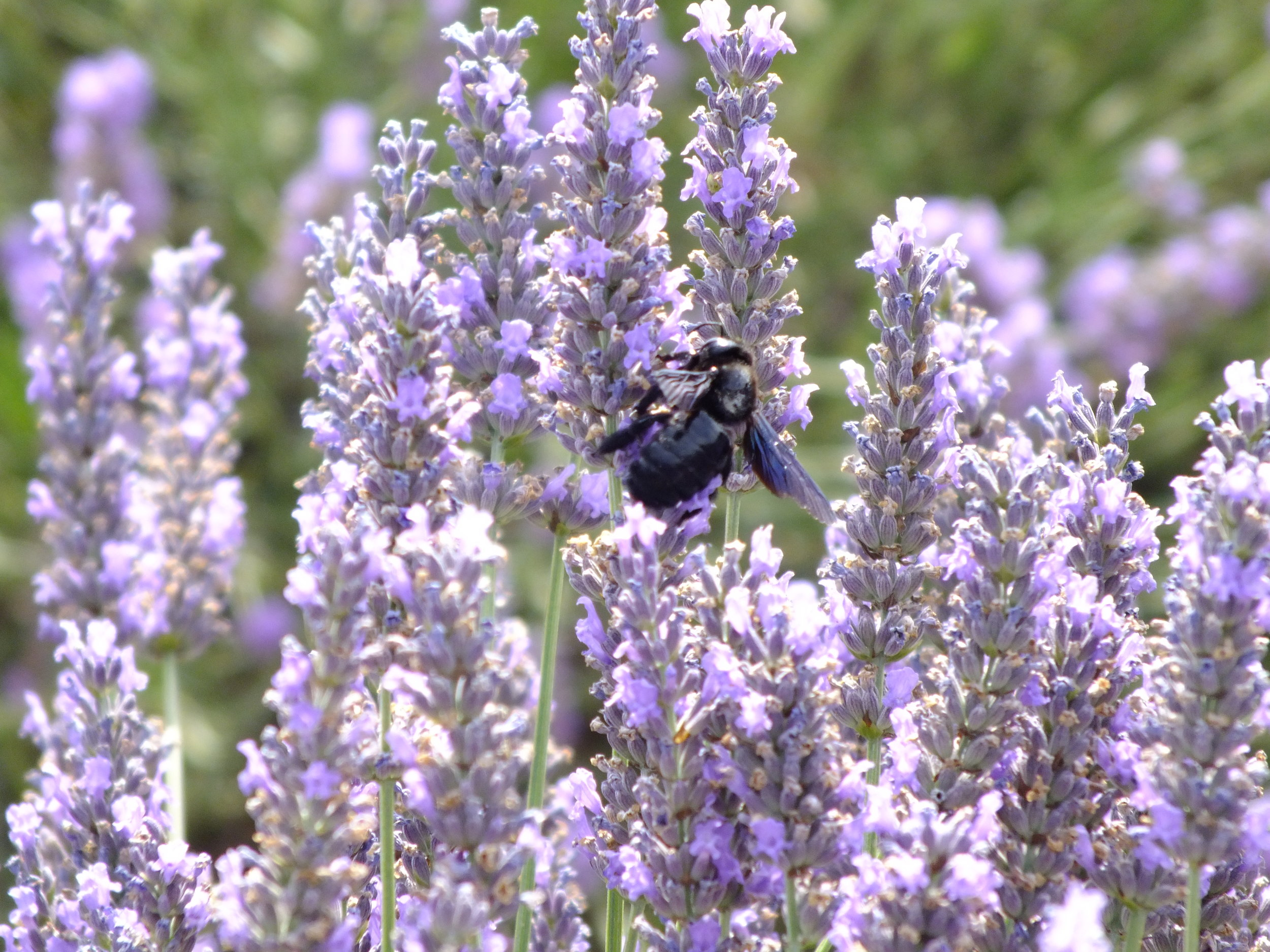 provence_lavender_bee