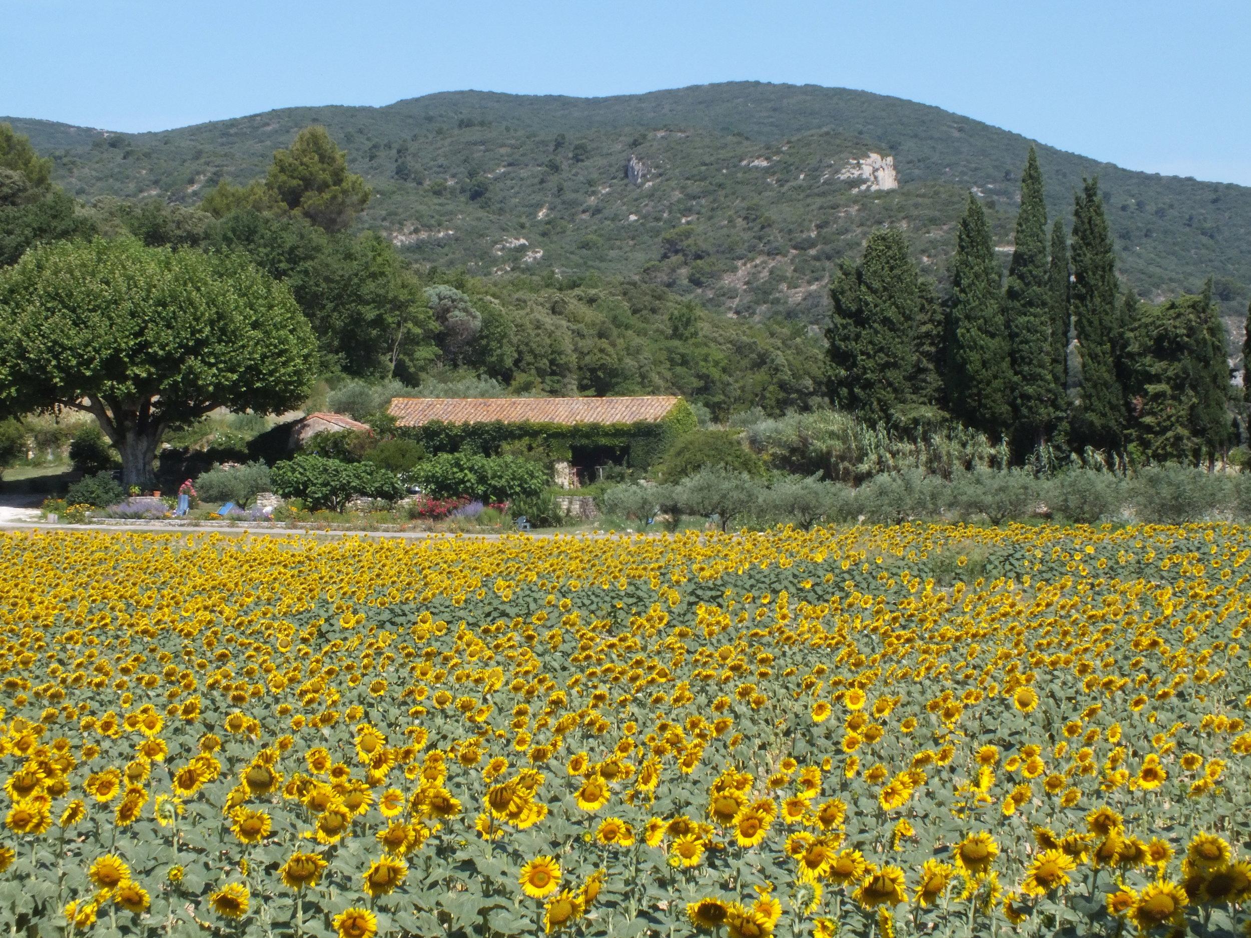 provence_sunflowers