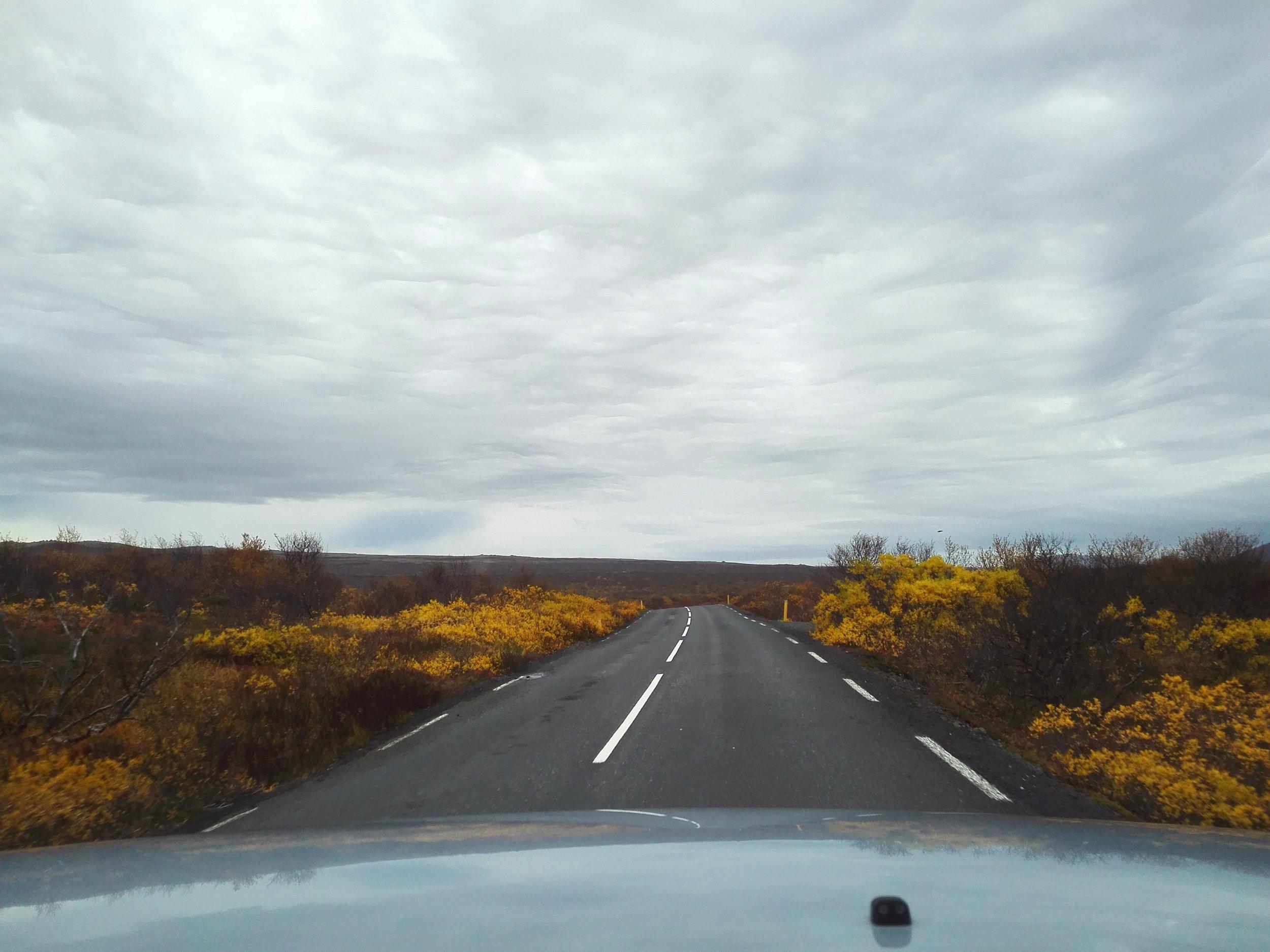 Yellow shrubs driving through Þingvellir National Park