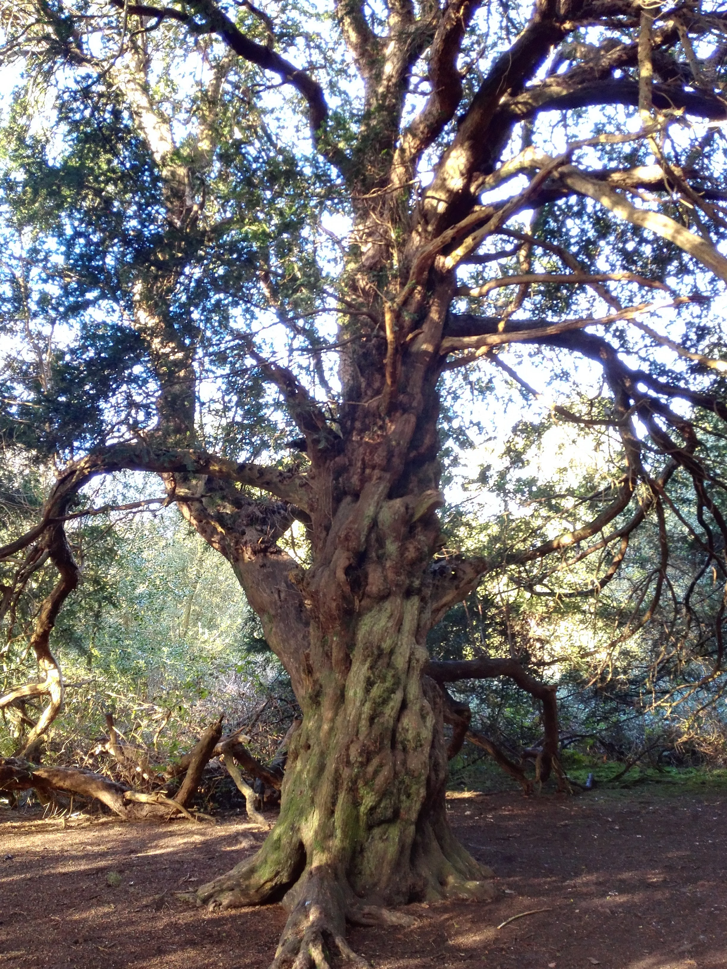 One of the ancient yew trees