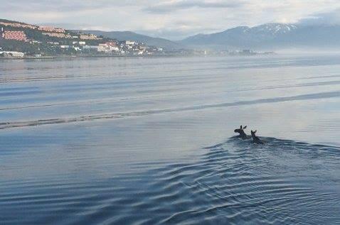 "To ""Moose on the Loose"" på vei over til Tromsø-øya. Dette fra juli 2014. Foto: Cato Caspersen"