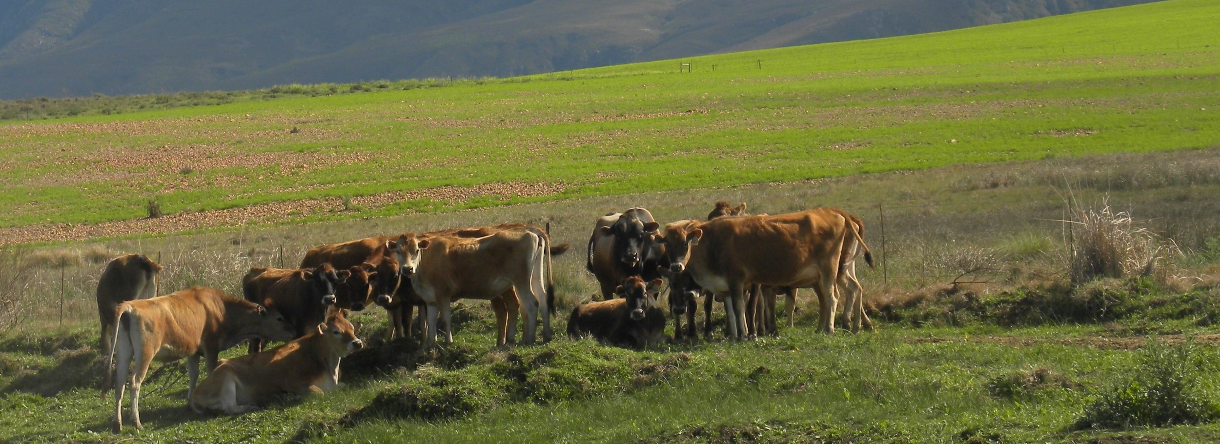 overberg vet cattle3.jpg
