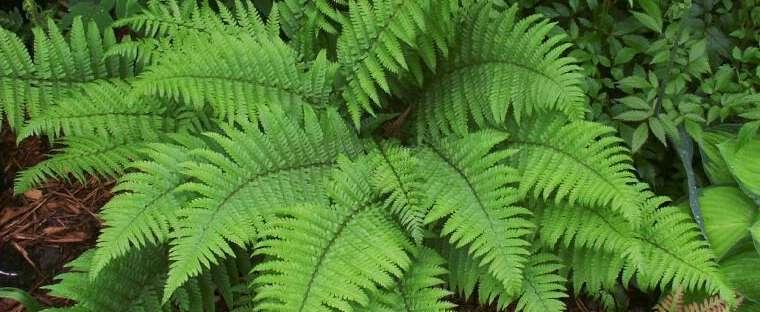 Lady Fern (Athyrium asplenioides)
