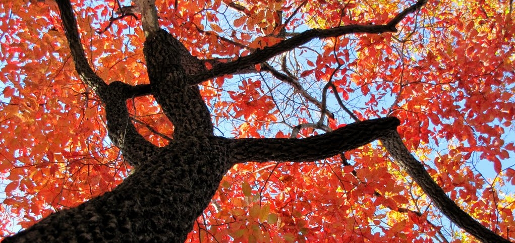 Beautiful fall foliage of our native Blackgum tree,  Nyssa sylvatica