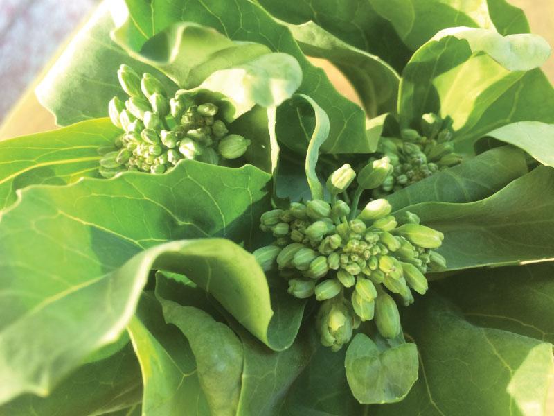 Broccoli-sprouting1-web.jpg