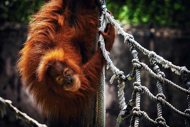 One of my favorite animals to watch at the zoo. They're always so active and playful.  #awesome #neworleans #animal #nature #orangutan #photooftheday #photography #wildlife #monkey #endangered #instagood