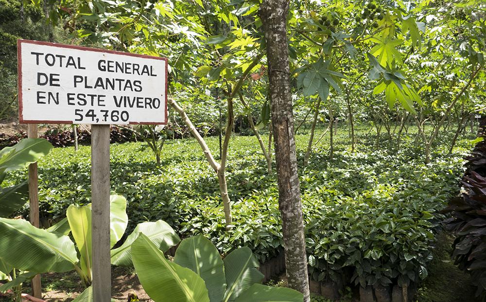The beginning of the coffee tree at El Quetzal -Bendaña McEwan Estate in Matagalpa.