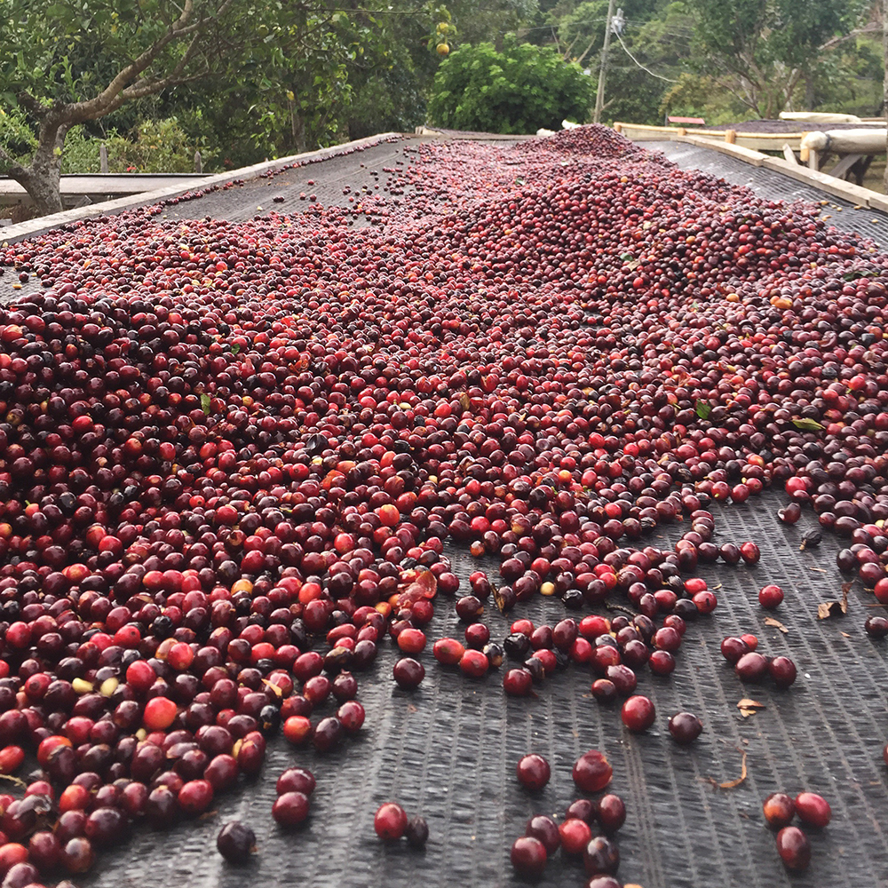 Fresh cherries ready to be dried