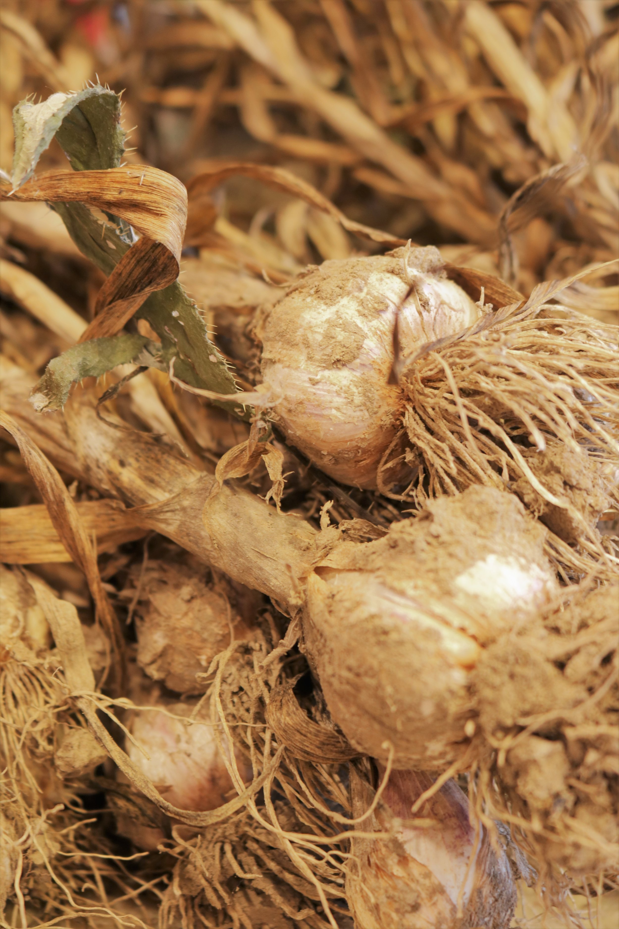 Fresh cured garlic bulbs, roots and stems still attached.