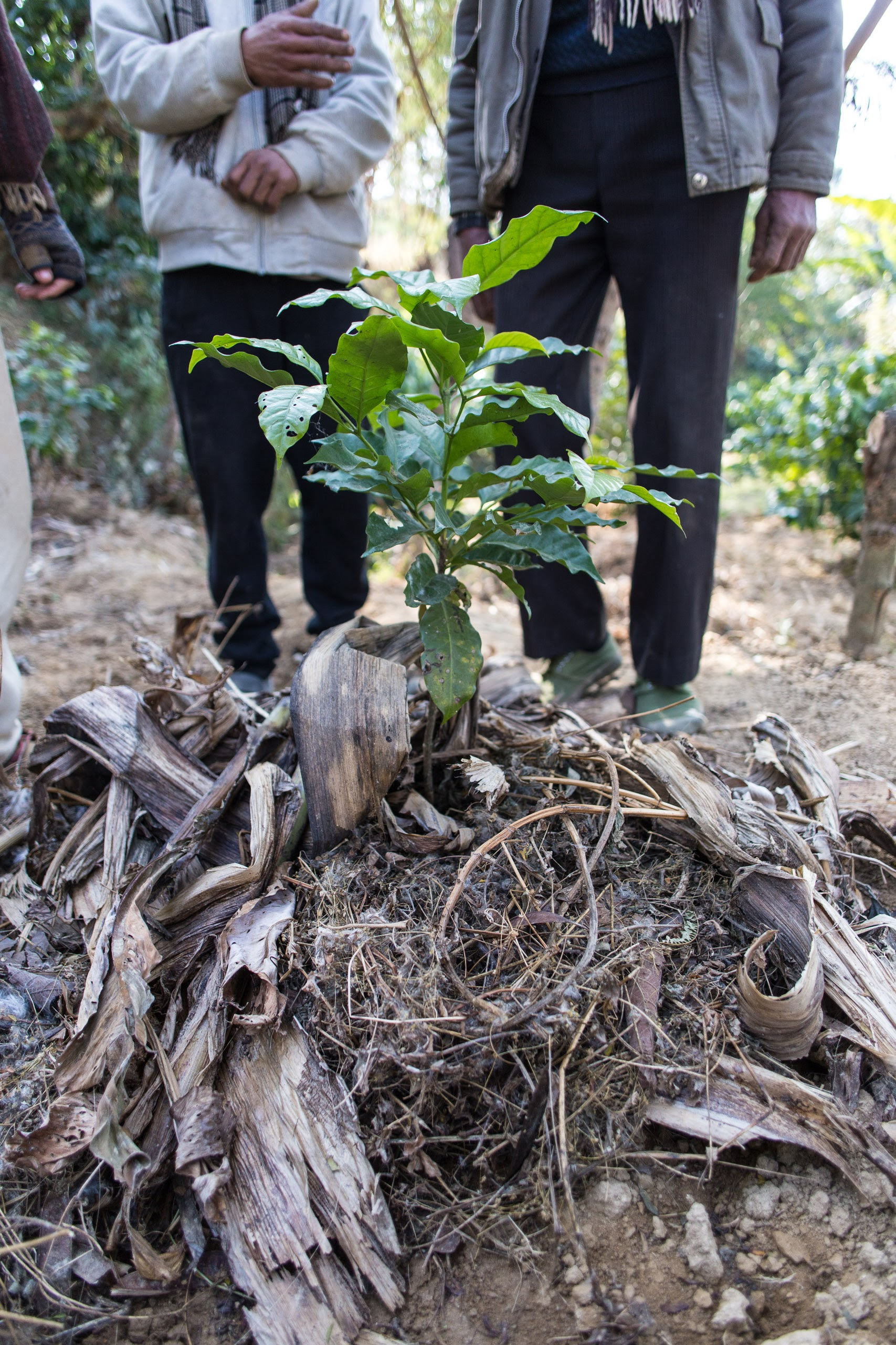 A young coffee tree with plenty of compost will grow be strong and produce plenty of income-generating fruit.