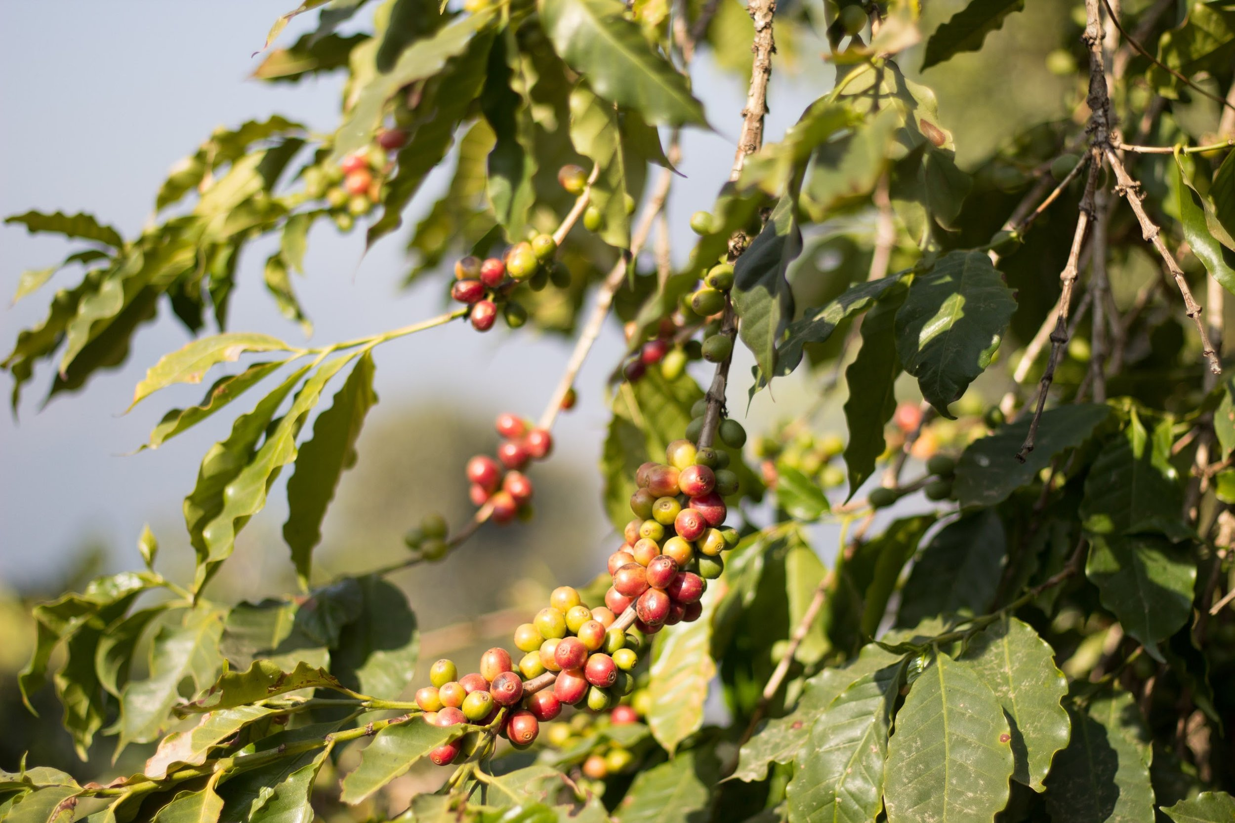 Coffee begins to give fruit after its 3rd year.