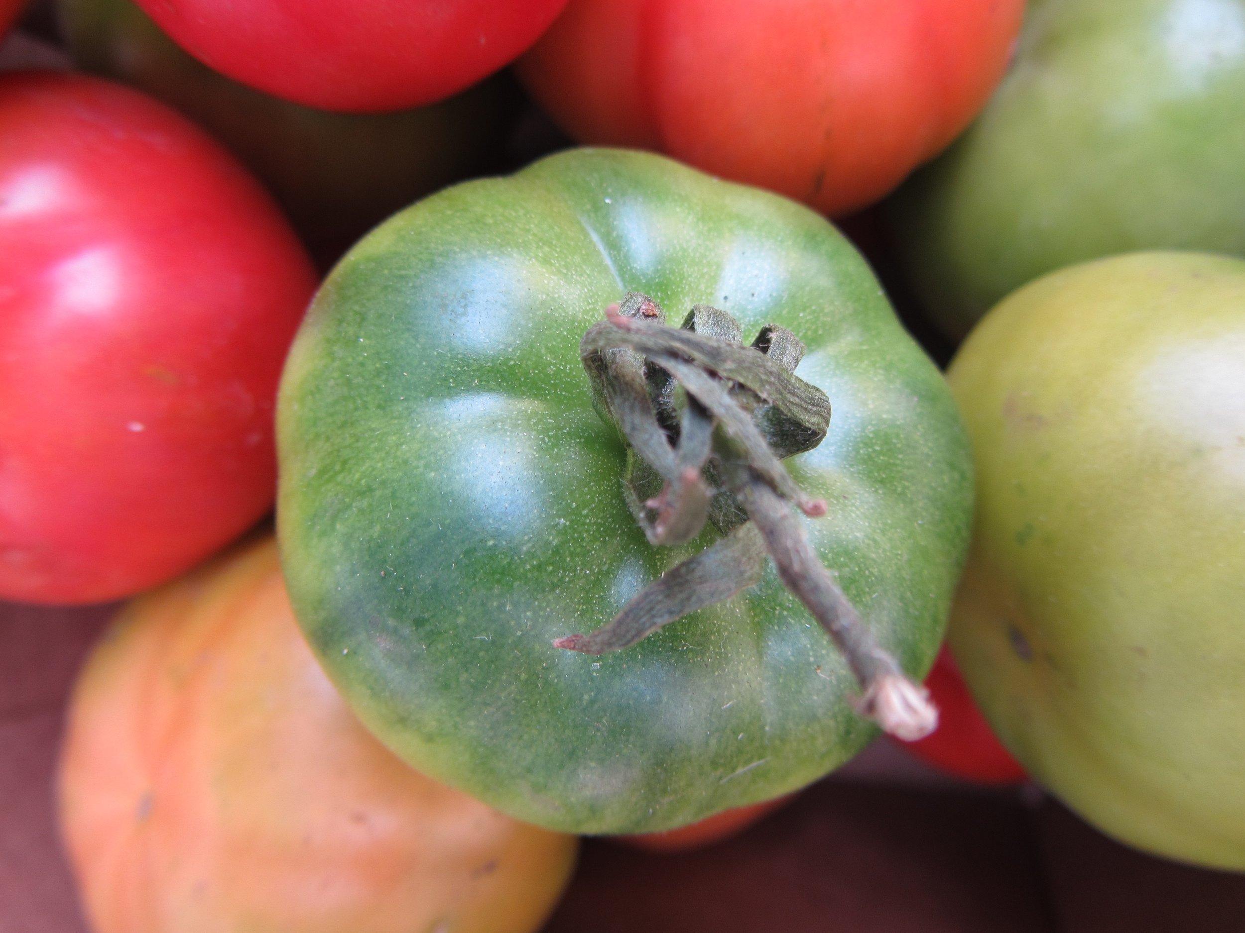 grüne Tomate.jpg